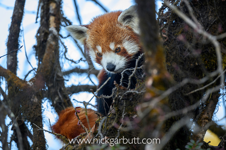 Adult red panda (Ailurus fulgens) (western subspecies A. fulgens fulgens) (sometimes lesser panda, red bear-cat, red cat-bear) resting in temperate forest understorey. Mid montane forest, Himalayan foothills, Singalila National Park, India / Nepal Border.
