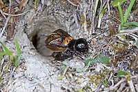 Feldgrille, Männchen vor selbstgegrabenem Erdloch, Feld-Grille, Grille, Gryllus campestris, field cricket, Grille, Grillen, Gryllidae, Cricket, Crickets