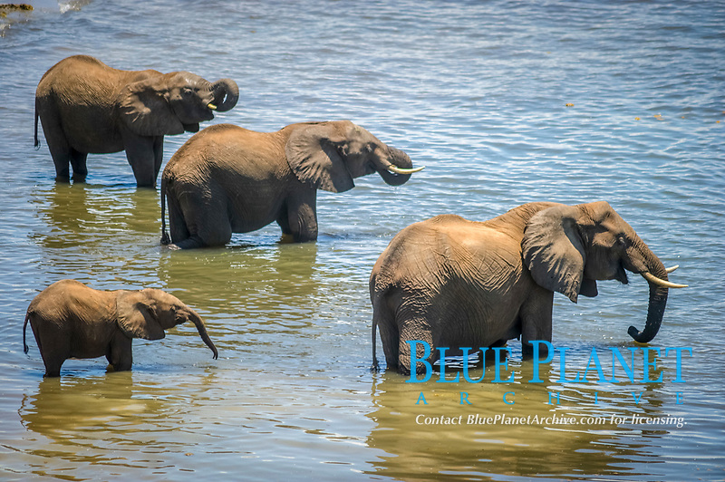African bush elephant, Loxodonta africana, herd, bathing and drinking water in Chobe River, Chobe National Park, Botswana