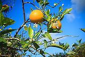Oranges produites en Nouvelle-Calédonie