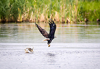 Bald Eagle DIving for fish and missing the fish. Fish is behind the Eagle in the water