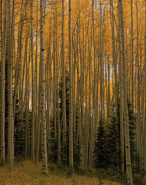 Aspen and Spruce trees in autumn colors, San Juan Mountains, Colorado, USA. .  John offers private photo tours and workshops throughout Colorado. Year-round.