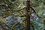 Mossy branches of a Cedar tree in tranquil deep green forest nature scenery at Vancouver Island, British Columbia, Canada. Image © MaximImages, License at https://www.maximimages.com