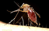 MQ07-013z  Mosquito - female biting a human, body filling with blood - Aedes  [Ochlerotatus] spp.