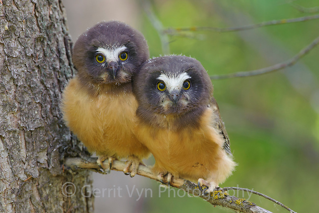 Fledgling Northern Saw-whet Owls (Aegolius acadicus) that have recently left the safety of their nest cavity. Alberta, Canada. June.