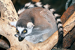 ring-tailed lemur full body view curled-up in tree