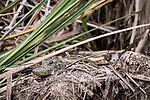 Damon, Texas; a 1-2 foot long, juvenile American alligator hiding amongst the reeds at the edge of the slough on an overcast afternoon