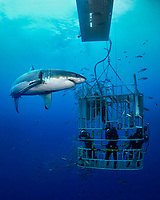 Great White Sharks, Carcharodon carcharias, swimming close to a cage that got divers inside who photograph or film the scene, and schooling mackerel scad, Decapterus macarellus, off Guadalupe Island, Mexico, East Pacific Ocean