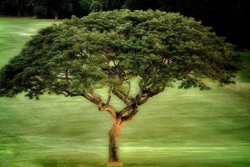 Lone tree. Maui, Hawaii