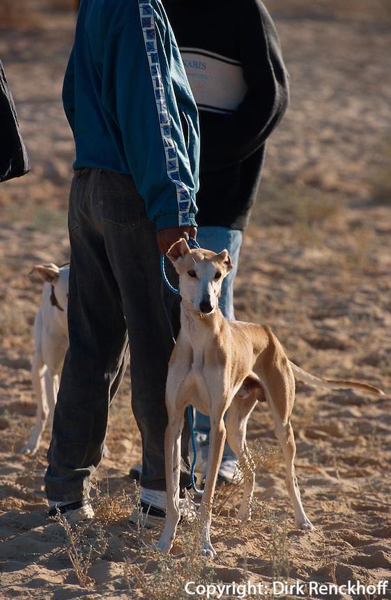 Sloughie-Hund, Festival in Douz, Tunesien