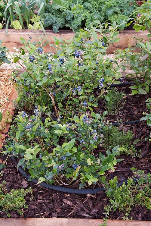 Blueberries growing in garden with fruit berries