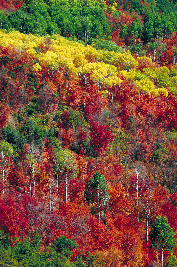 Bright yellow red and green colored fall aspen trees . Fall foliage, autumn leaves, white trunks, fall forest, aspen forest, western fall, Rocky mountains. Utah, Wasatch mountains.