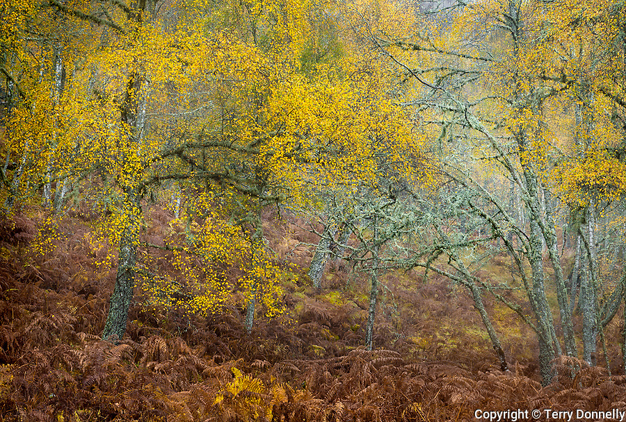 Western Highlands, Scotland: Fall colors in the open beech forests and bracken ferns of Glen Strathfarrar