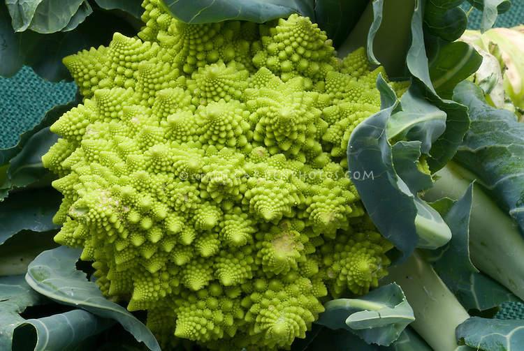 Cauliflower 'Veronica' weird green sputnik shaped vegetable, strange odd bizarre shape,  Italian Romanesco type