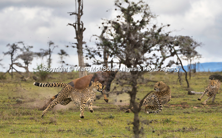 Pictured:  Sequence 2 of 11: The female Topi chases the cheetahs away from her calf.<br /> <br /> An antelope accidentally crashes into its young calf as flee from five cheetahs.  The female topi had been grazing peacefully with the youngster before the predators attacked.<br /> <br /> Fortunately the pair were eventually able to escape by sprinting away from the hungry cheetahs.  The dramatic images were captured in the Naobosho Conservancy, on the Mara Reserve in Kenya by photographer Marc Mol.  SEE OUR COPY FOR DETAILS.<br /> <br /> Please byline: Marc Mol/Solent News<br /> <br /> © Marc Mol/Solent News & Photo Agency<br /> UK +44 (0) 2380 458800