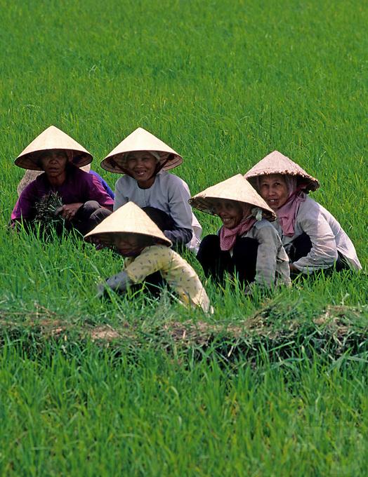 Women rice farmers in the field, Mekong Delta, Vietnam