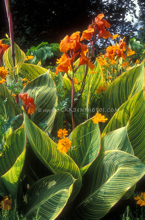 Canna Striata aka Pretoria aka Bengal Tiger in orange bloom with striped green and yellow foliage, with Cosmos sulphureus 'Polidor' in summer flowers