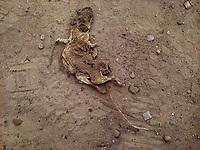 BOGOTA -COLOMBIA ,  Rata muerta./ Dead rat . Photo: VizzorImage / Felipe Caicedo / Staff