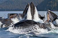 Humpback whale, Megaptera novaeangliae, bubble net feeding near Angoon, Chatham Strait, Alaska, Pacific Ocean