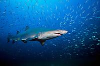 sand tiger (gray nurse) shark, Carcharias taurus (formerly Odontaspis / Eugomophodus), wreck of the Caribsea, North Carolina, USA, Atlantic Ocean