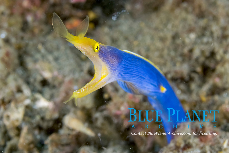 ribbon eel, Rhinomuraena quaesita, Lembeh Strait, North Sulawesi, Indonesia, This is a male because it is blue in color. Females are all yellow and juveniles are black.
