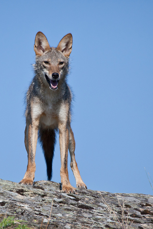 Coyote standing on a rocky hill - CA