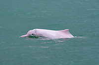 Chinese white dolphin or Indo-Pacific Ocean humpback dolphin, Sousa chinensis, adult animal surfacing, Hong Kong, Pearl River Delta