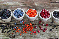 Wildfrüchte in Tontopf, Wildfrucht, Ernte von Früchten, Frucht, Früchte, fruit. Schlehenbeeren, Schlehe, Schlehen, Gewöhnliche Schlehe, Schwarzdorn, Prunus spinosa, Blackthorn, Sloe, fruit, Epine noire, Prunellier. Holunderbeeren, Fliederbeeren, Schwarzer Holunder, Sambucus nigra, Common Elder, Elderberry, Elderberries, Sureau commun, Sureau noir. Kornelkirsche, Kornelkirschen, Kornel-Kirsche, Kornellkirsche, Kornellkirschen, Kornel, Kornell, Cornus mas, Cornelian Cherry, European cornel, Le cornouiller mâle, cornouiller sauvage. Vogelbeeren, Vogelbeere, Eberesche, Vogel-Beere, Vogelbeerbaum, Sorbus aucuparia, Pyrus aucuparia, rowan, mountain-ash, fruit, Le Sorbier des oiseleurs, Sorbier des oiseaux. Brombeere, Brombeeren, Echte Brombeere, Beere, Beeren, Rubus fruticosus agg., Rubus sectio Rubus, blackberry, bramble, fruit, ronce