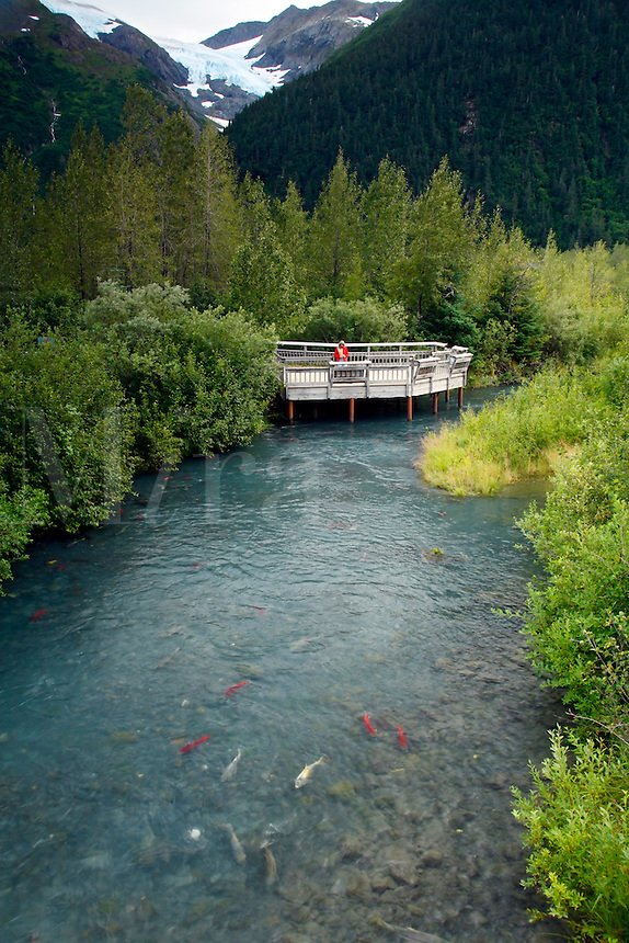 Visitor watches salmon spawning from the Williwaw Fish Viewing Platform, Portage Valley, Chugach National Forest, Alaska.