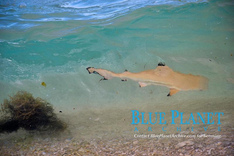 Blacktip reef shark juvenile, Carcharhinus melanopterus, surfing wave near shore, Mamanucas Islands, Fiji, South Pacific Ocean