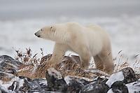 Polar Bear walking along the rocky shoreline of Hudson Bay