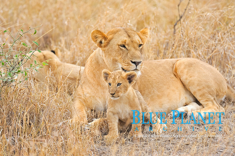 A pride of Lions (Panthera leo) with a young cub in the Masai Mara, Kenya, Africa