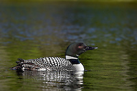Common Loon (Gavia immer).  Northern North America, Summer.  Sometimes also called Great Northern Loon or Diver.