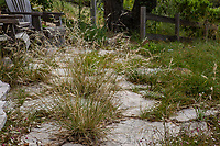 Permeable stepping stone patio with California native grass, Stipa pulchra, Purple Needle Grass; Charlotte Torgovitsky garden