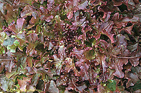 HS21-471x  Lettuce - Red Salad Bowl variety - Red Oakleaf
