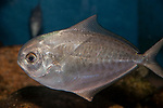 American Butterfish swimming left