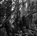 Japanese cedar trees in Sado Island.