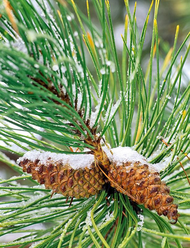 Pine cones with snow. Near Alpine, Oregon.