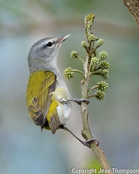 Tennessee Warbler, South Texas