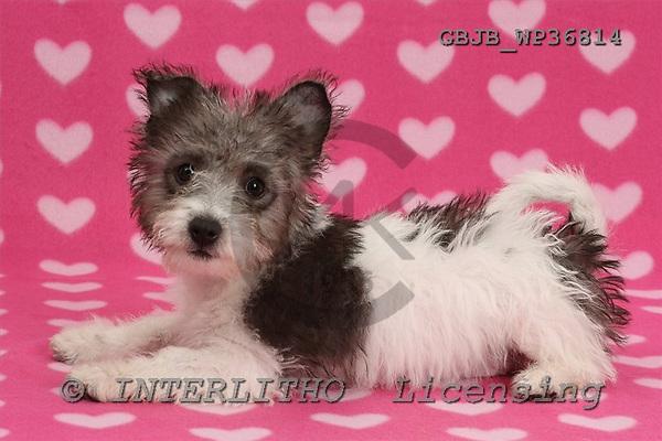 Kim, ANIMALS, dogs, photos+++++,GBJBWP36814,#a# Hunde, perros