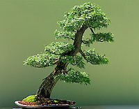 Western White Cedar (Thuji occidentalis) bonsai. Eladen Gardens. This image must be released before publishing. Please contact me.