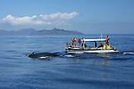 Mongome! Debout sur le siege de pilotage, Nils Bertrand vient d apercevoir au loin le souffle caracteristique d une baleine. Specialiste des cétacés, notre guide connait tous les secrets du lagon de Mayotte et n a pas son pareil pour reperer les mongomes ou baleines en mahorais.