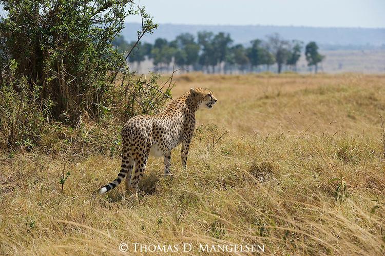 A cheetah surveys the savannah in Maasai Mara, Kenya.