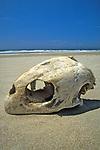 Skull Of Loggerhead Turtle On Beach