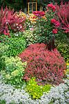 Vashon-Maury Island, WA: Summer perennial garden featuring barberry 'Orange Rocket', hydrangea 'Bobo', Orienpet Hybrid Lily 'Saltarello'  and sedums.