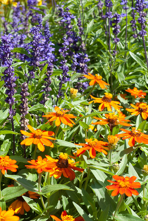 Zinnia 'Profusion Orange' with Salvia farinacea in summer blooming annual flowers together