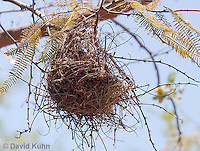 0703-1102  Verdin (Titmouse, Penduline Tit), Bag Nest (Hanging Nest or Dome Nest), Auriparus flaviceps  © David Kuhn/Dwight Kuhn Photography