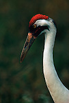 Portrait of captive whooping crane in Patuxent Wildlife Research Center.
