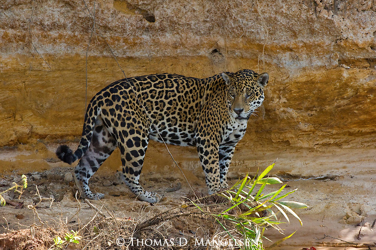 A jaguar walks along the bank to the Picuiri River in the Pantanal of Brazil.