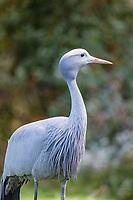 Blue crane (Grus paradisea), Tenikwa Wildlife Rehabilitation Centre, Plettenberg Bay, South Africa